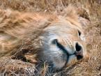 lion-sleeps