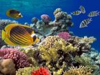 Coral reef with soft and hard corals with giant jellyfish