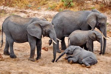 Elephants Tarangire River