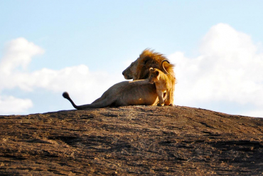 Male lion and baby lion
