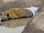 Serengeti-hyena