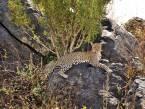 Leopard-rock-serengeti