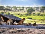 Lion-Cubs-in-Moru-Kopjes-in-the-serengeti