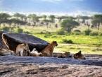 Lion-Cubs-in-Moru-Kopjes-in-the-serengeti