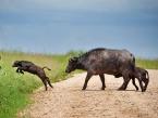 Serengeti-Seronera-area-Buffalos-crossing-calf-jumping