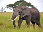 Serengeti_seronera-Area_big-bull-Ele-with-a-hole-in-the-ear