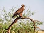 tawny-eagle-serengeti