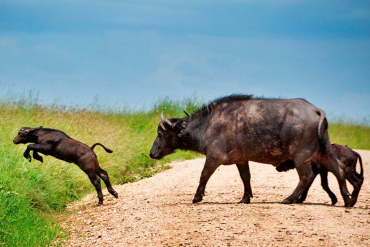 Buffalos crossing street