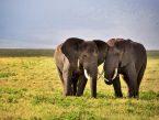 Elephants_5
