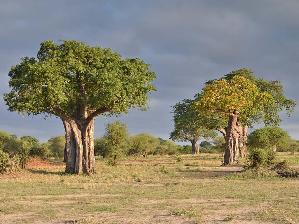 Baobaby v národním parku Tarangire