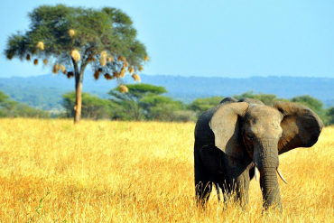 Elephant in front of tree