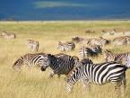 taste-of-Tanzania-zebra-(1-of-1)