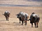 taste-of-Tanzania-buffalo-(1-of-1)