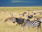 taste-of-Tanzania-zebra-(1-of-1)