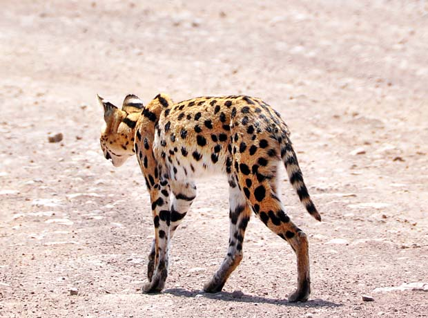 Serval-4