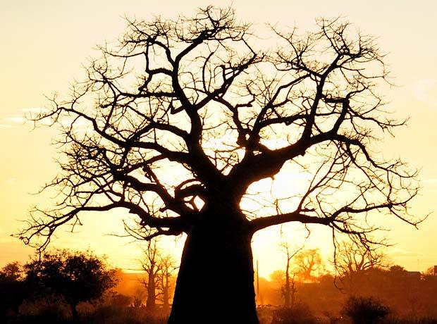 Baobab_cut