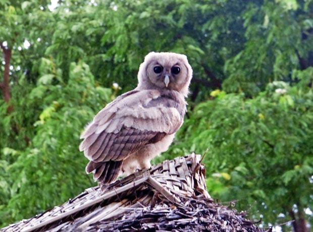 Eagle-Owl-2