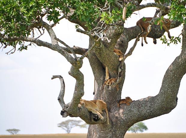 Tree-Lions-1