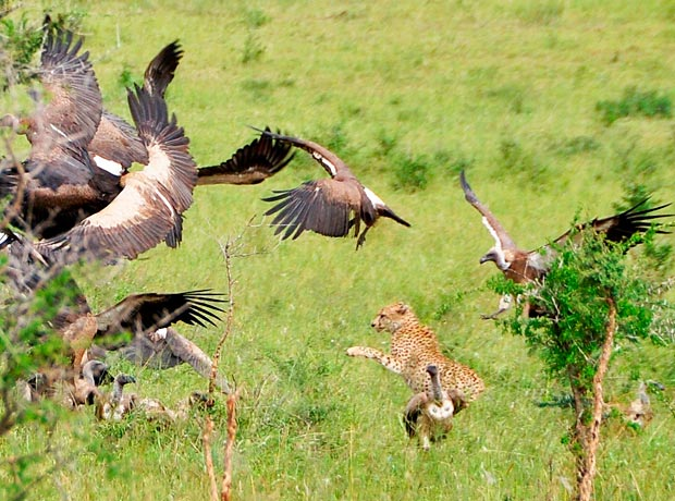 Cheetah-vs-vultures2