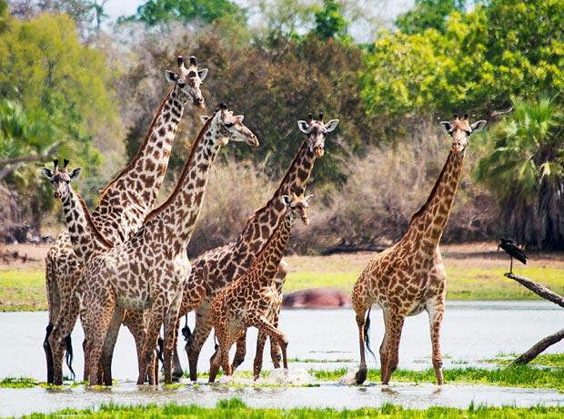 giraffes-4