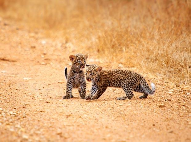 leopard-cubs-selous-4