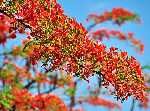 Native To Madagascar The Flamboyant Tree Can Be Found In Almost Every Tropical And Sub Country Around World It Is Quite Drought Resistant