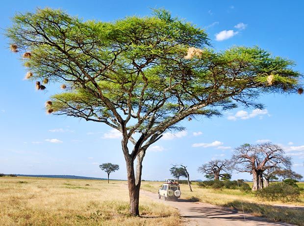 Amazing Acacias A Clever Species Of Trees Tanzania Experience