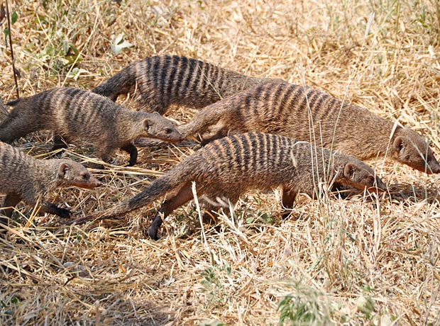 The banded Mongoose | Tanzania-Experience