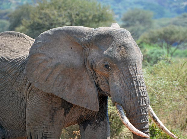 Stock Video Of Asian Elephant Bull Chained During Musth 13969091 Shutterstock