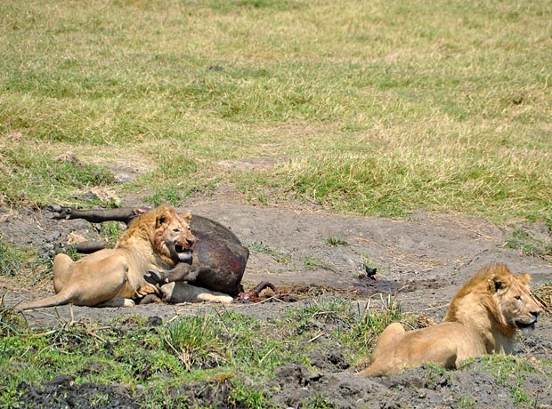 Lions And Hyenas A Standoff In The Crater Tanzania Experience