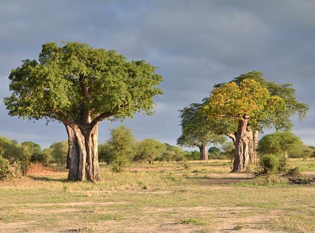 Baobabs im Tarangire National Park