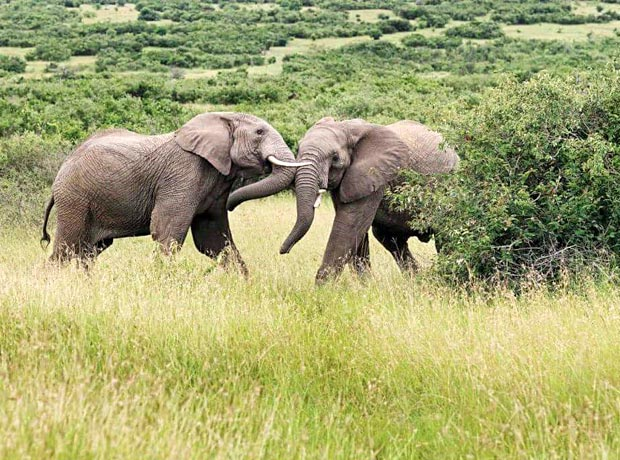 Two elephants on safari in Tanzania