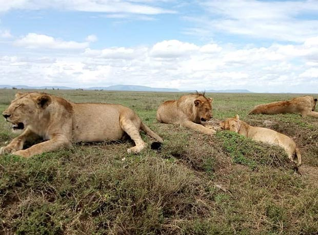 Pride of female lions in Tanzania