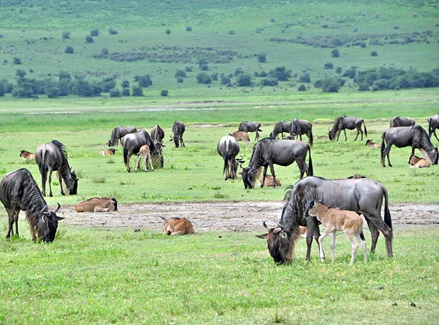 Wildebeest calves serengeti Tanzania