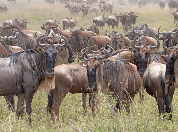 Wildebeest herd serenge