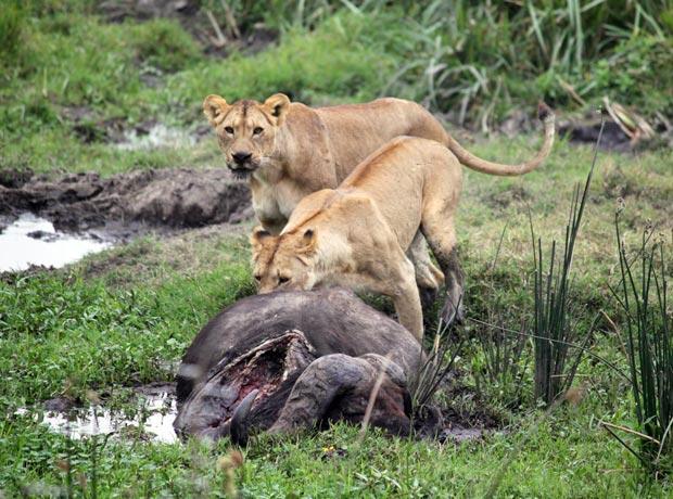 Lions with Buffalo cadaver