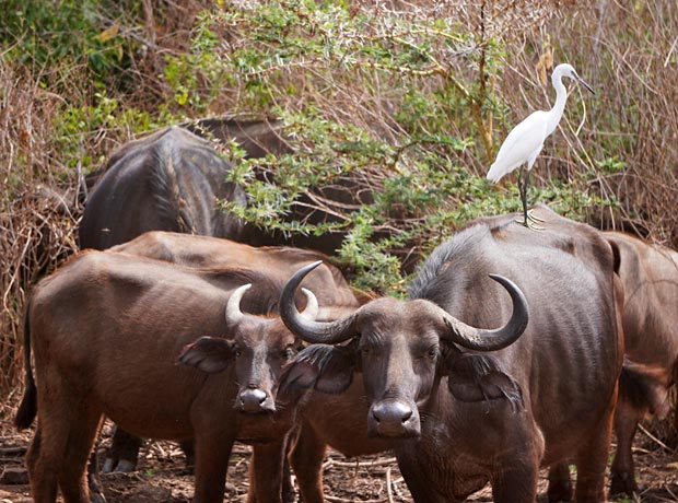 Buffalos in Tanzania