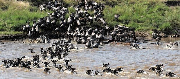 Great migration river crossing